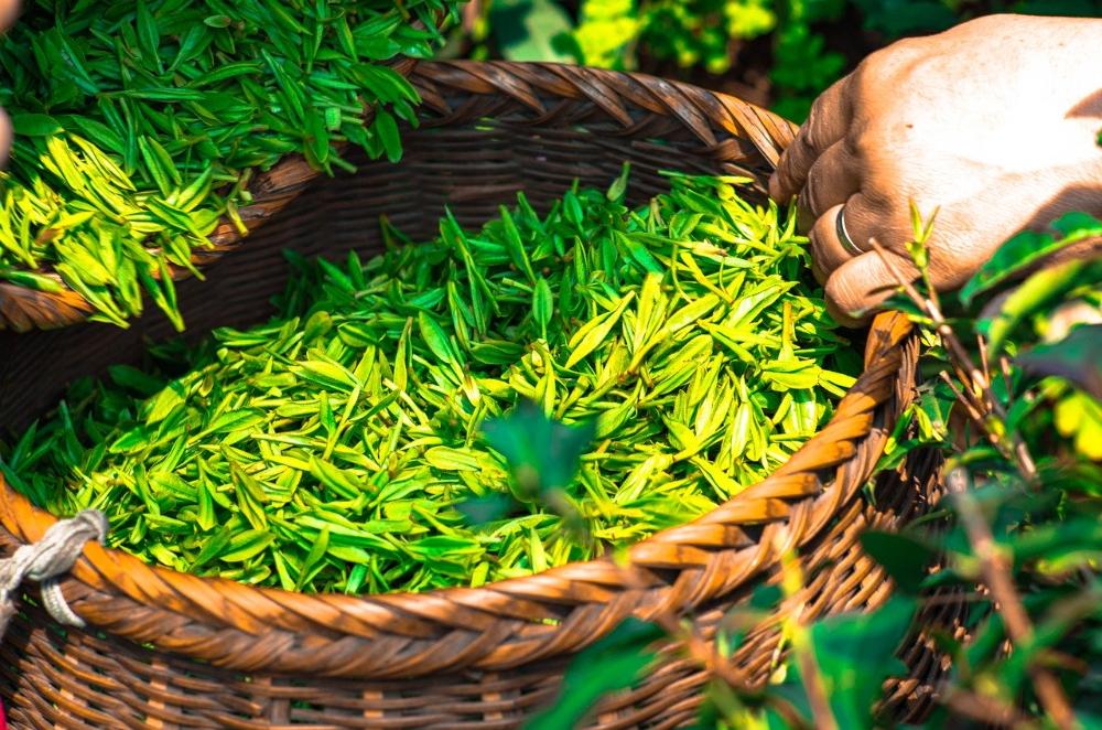 feuilles de the vert